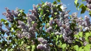 3.Lilac